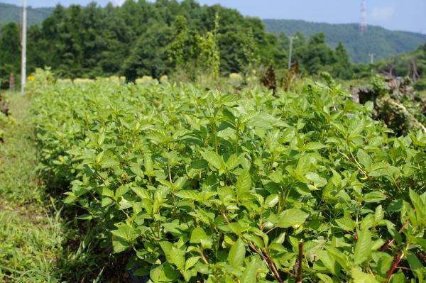 収穫中のモロヘイヤとミニトマト、最近のもちきび_c0110869_17371025.jpg