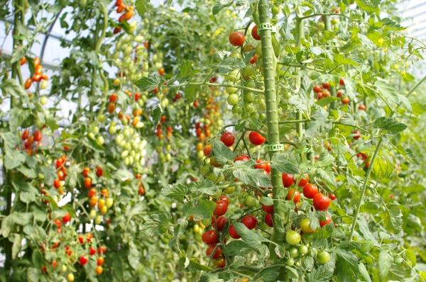 収穫中のモロヘイヤとミニトマト、最近のもちきび_c0110869_17372956.jpg