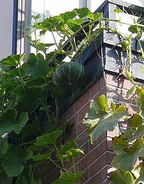 ご近所の緑のカーテン_d0020309_8562266.jpg