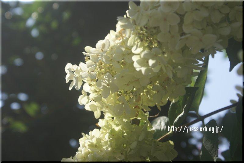 白い花_f0156117_811074.jpg