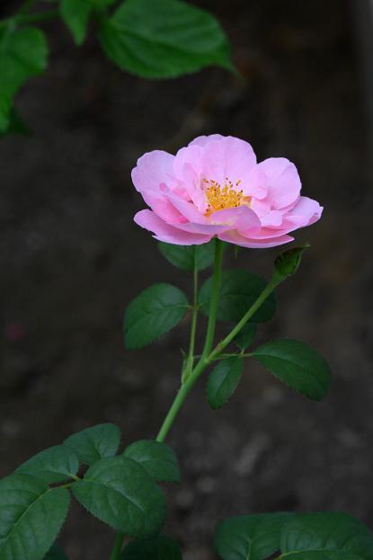 庭の花便り_d0150720_951829.jpg