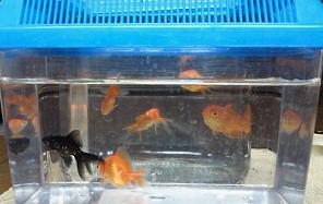 金魚すくい_e0184224_9274941.jpg