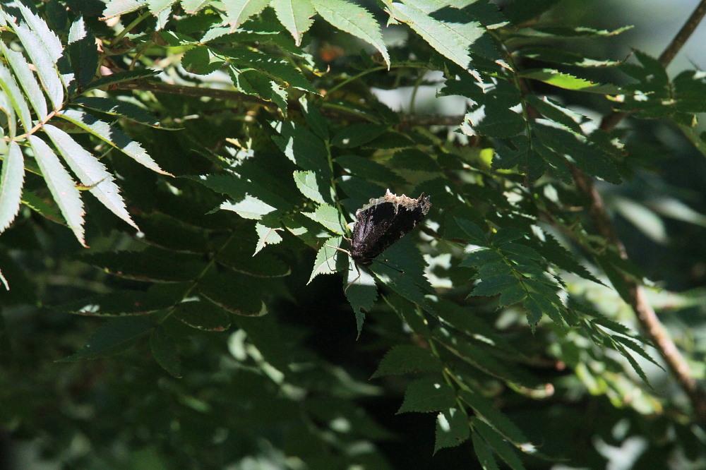 晩夏の高原探蝶記その2 まだいたオオゴマシジミ 2010.08.22長野県西部_a0146869_23182940.jpg