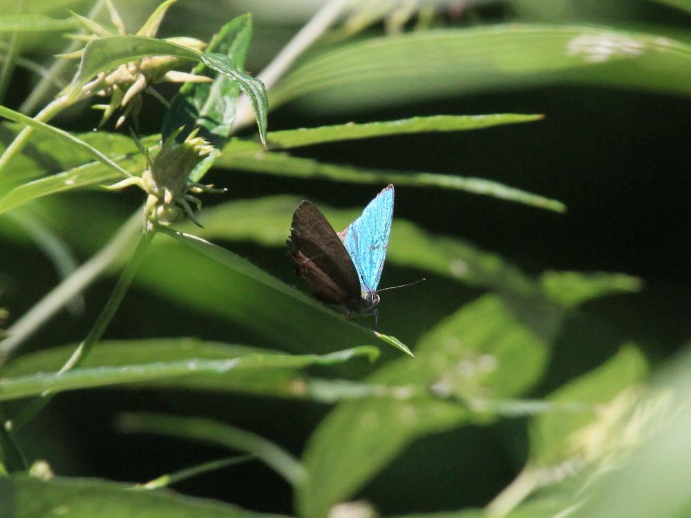 晩夏の高原探蝶記その2 まだいたオオゴマシジミ 2010.08.22長野県西部_a0146869_23202087.jpg