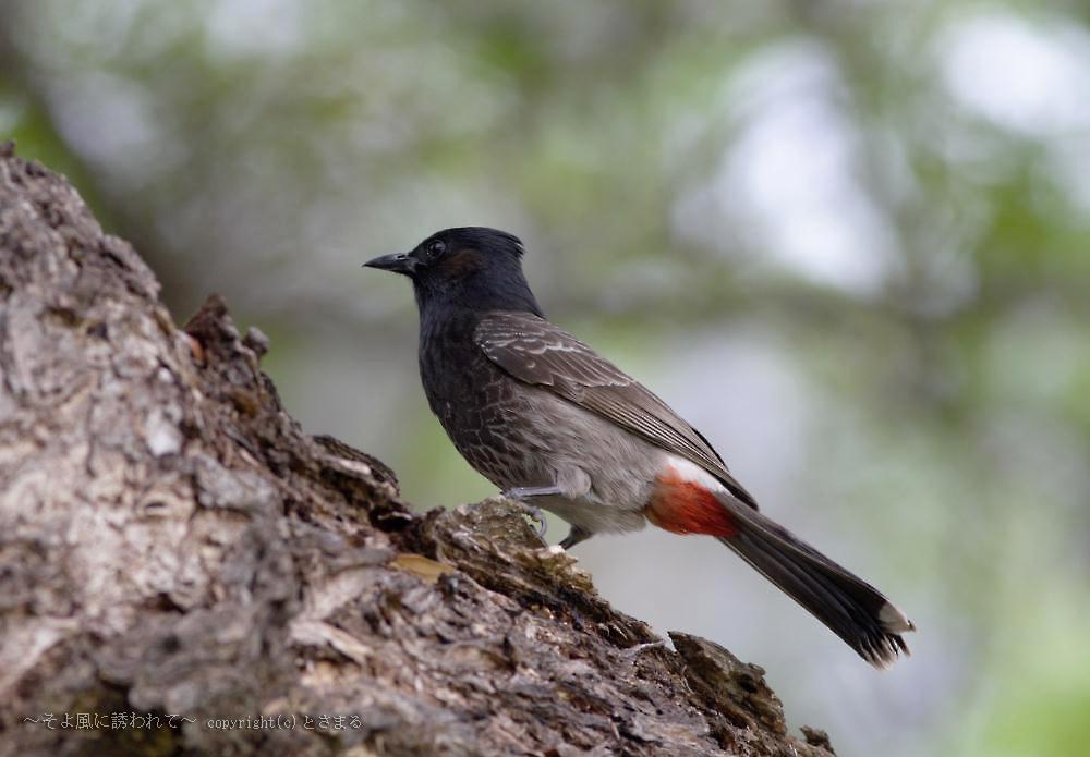 シリアカヒヨドリ : Bird Lisut