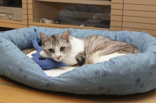 夏仕様のベッドで青猫さんを抱えるお坊ちゃん