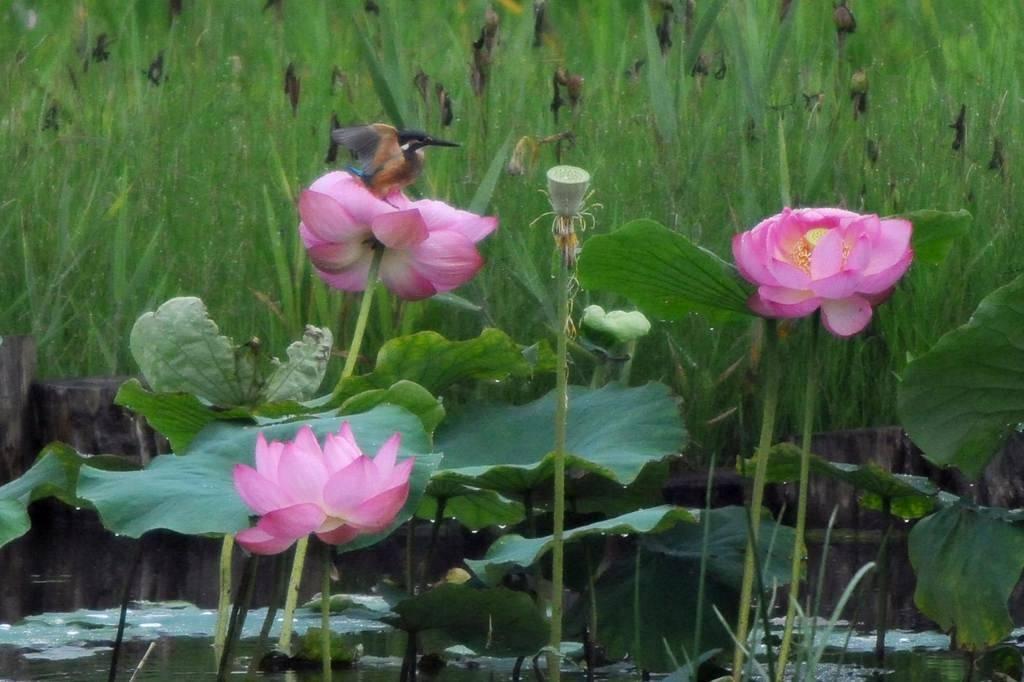 夏の想い出(2)蓮花カワセミ/月・木星の接近_b0024798_9434334.jpg