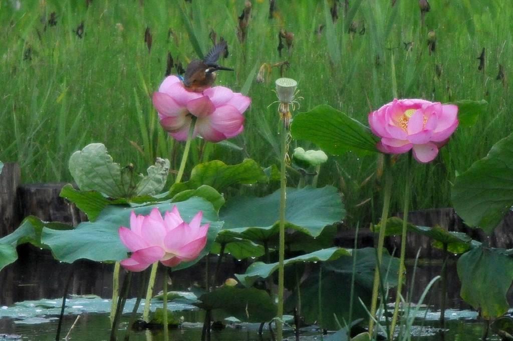 夏の想い出(2)蓮花カワセミ/月・木星の接近_b0024798_9435334.jpg