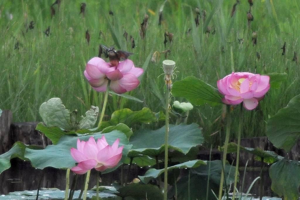 夏の想い出(2)蓮花カワセミ/月・木星の接近_b0024798_944126.jpg