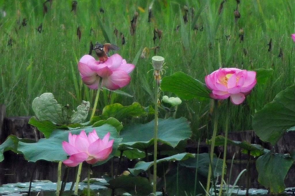 夏の想い出(2)蓮花カワセミ/月・木星の接近_b0024798_9442420.jpg