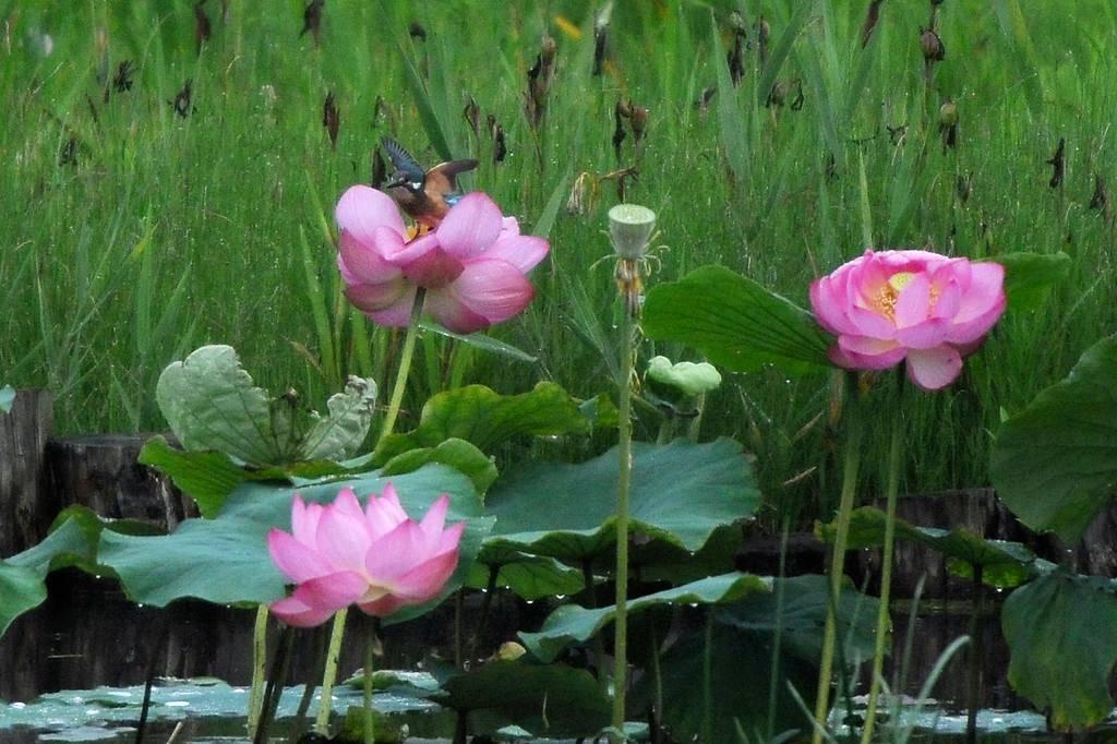夏の想い出(2)蓮花カワセミ/月・木星の接近_b0024798_944322.jpg