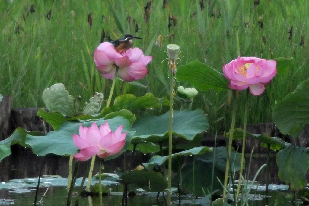 夏の想い出(2)蓮花カワセミ/月・木星の接近_b0024798_944389.jpg