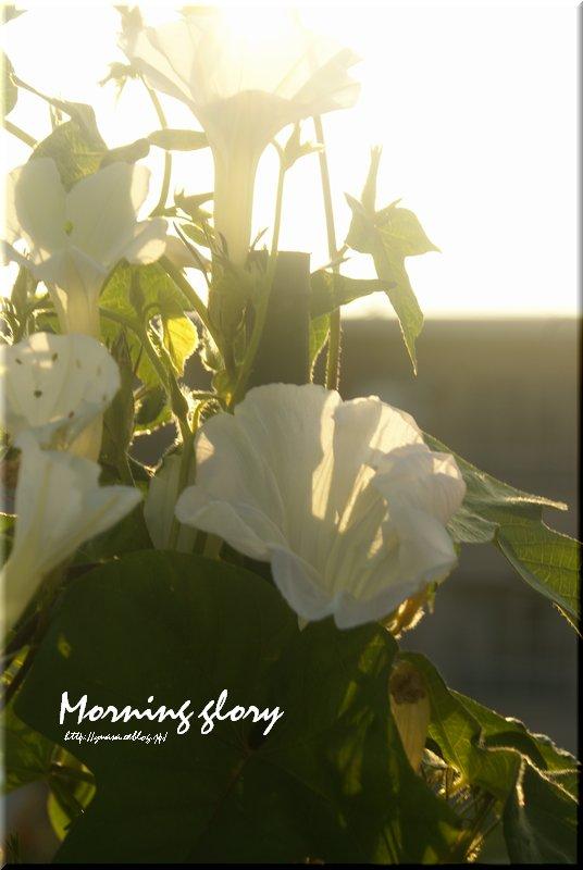 朝日を浴びて、あさがお_f0156117_7125335.jpg