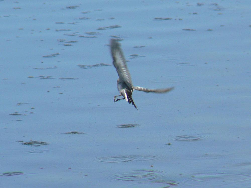 元気よく飛び回るハクセキレイの幼鳥たち (写真追加 7/6)_e0088233_12247.jpg