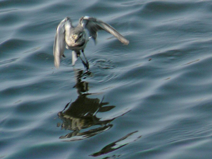 元気よく飛び回るハクセキレイの幼鳥たち (写真追加 7/6)_e0088233_1294998.jpg