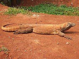 Komodo Dragon_c0157558_0565151.jpg