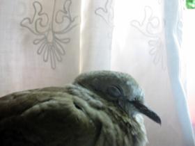 小鳩 その後_a0155362_18233449.jpg