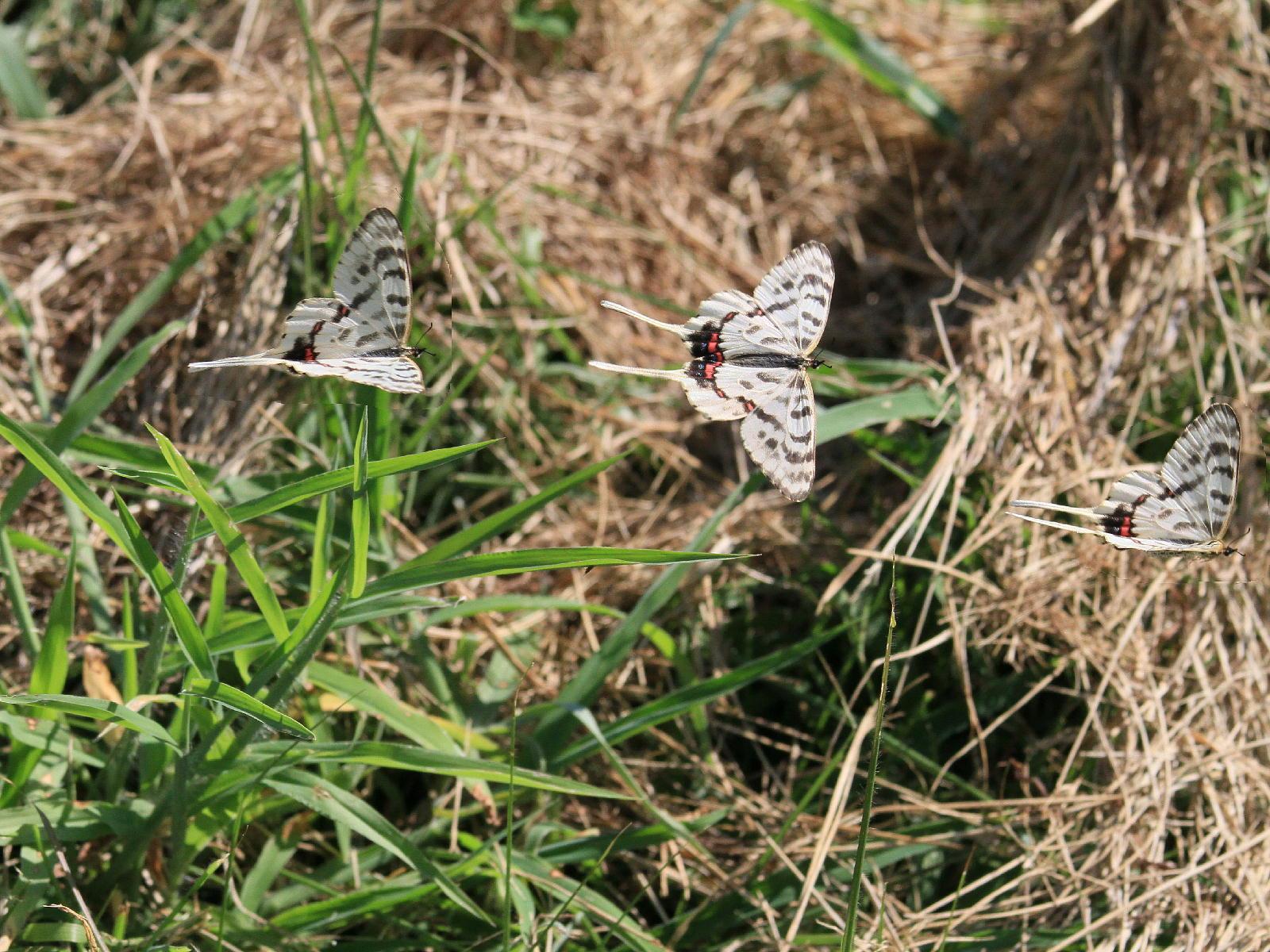 晩夏の里山探蝶記その1 ホソオチョウの夏型は暑さにめげずにスイスイ飛翔中  2010.8.29狭山丘陵 _a0146869_622032.jpg