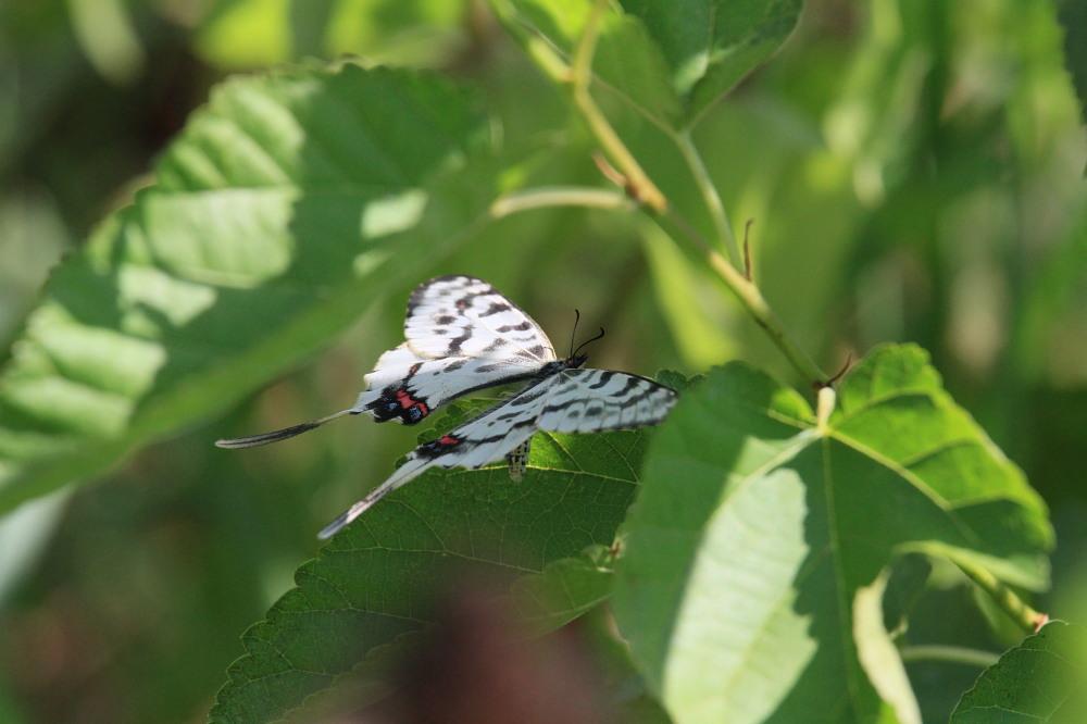 晩夏の里山探蝶記その1 ホソオチョウの夏型は暑さにめげずにスイスイ飛翔中  2010.8.29狭山丘陵 _a0146869_6221917.jpg