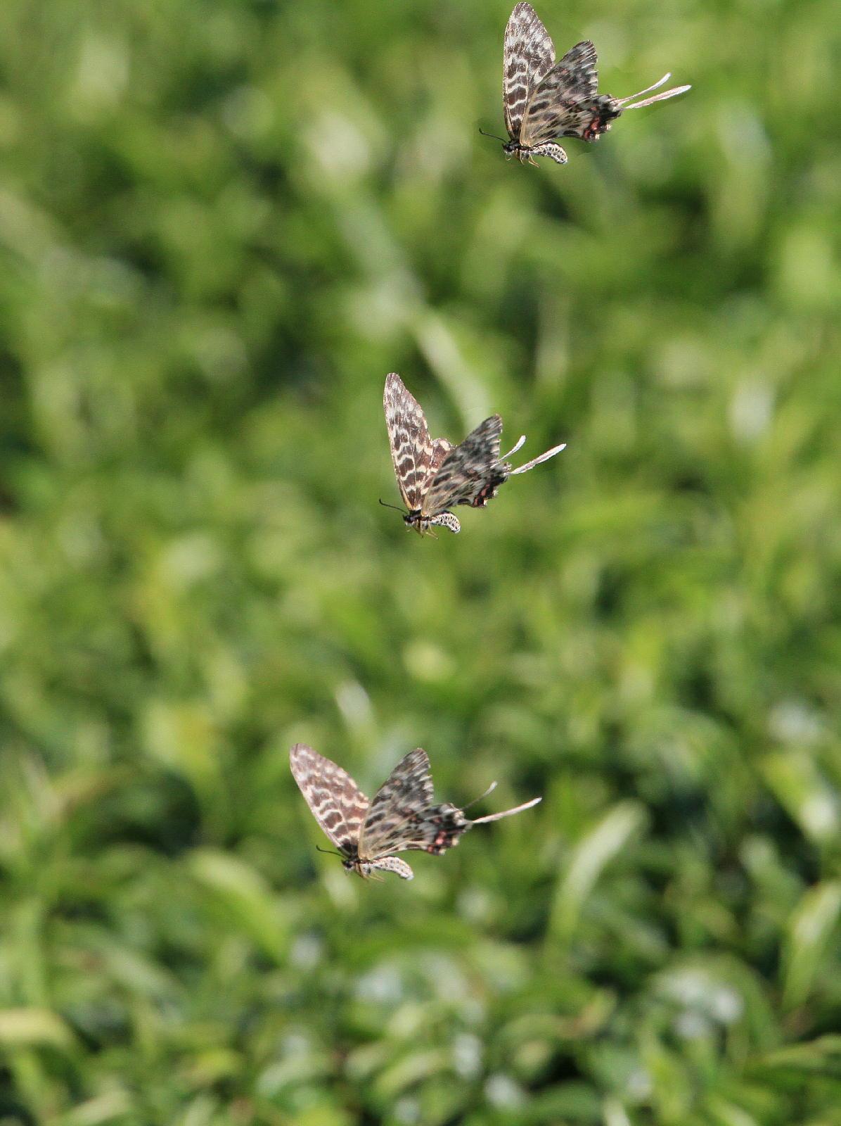 晩夏の里山探蝶記その1 ホソオチョウの夏型は暑さにめげずにスイスイ飛翔中  2010.8.29狭山丘陵 _a0146869_6234254.jpg
