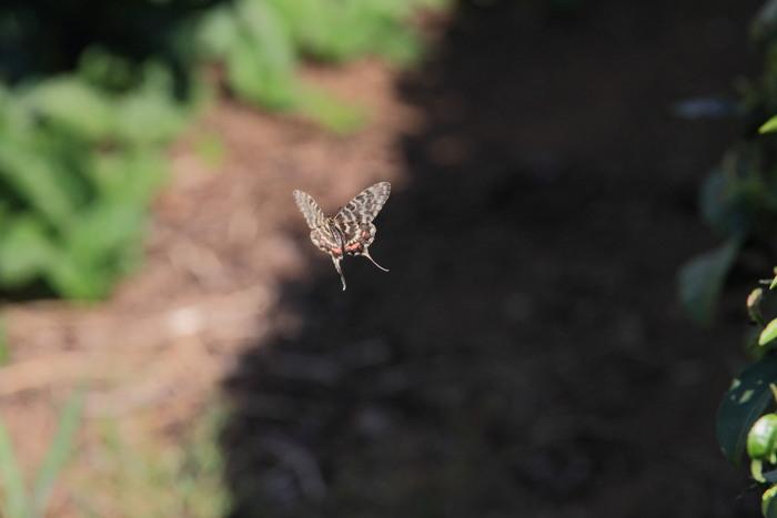 晩夏の里山探蝶記その1 ホソオチョウの夏型は暑さにめげずにスイスイ飛翔中  2010.8.29狭山丘陵 _a0146869_624047.jpg