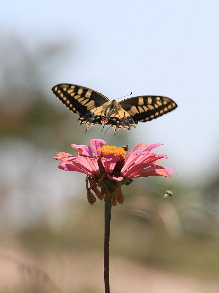 晩夏の里山探蝶記その1 ホソオチョウの夏型は暑さにめげずにスイスイ飛翔中  2010.8.29狭山丘陵 _a0146869_6241877.jpg