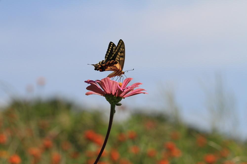 晩夏の里山探蝶記その1 ホソオチョウの夏型は暑さにめげずにスイスイ飛翔中  2010.8.29狭山丘陵 _a0146869_6245226.jpg