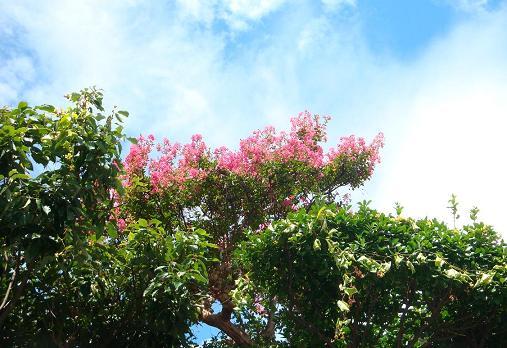 猛暑でも咲き続ける花・サルスベリ_e0175370_1946398.jpg