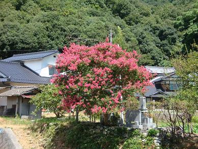 猛暑でも咲き続ける花・サルスベリ_e0175370_1947220.jpg