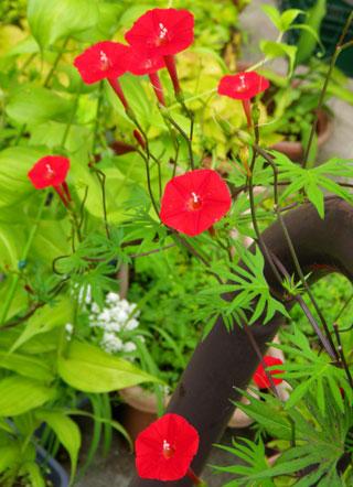 8月後半の庭の花♪_a0136293_10485948.jpg