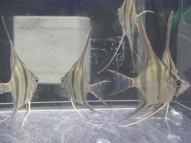 熱帯魚・水草・侘び草・金魚_f0189122_12534547.jpg