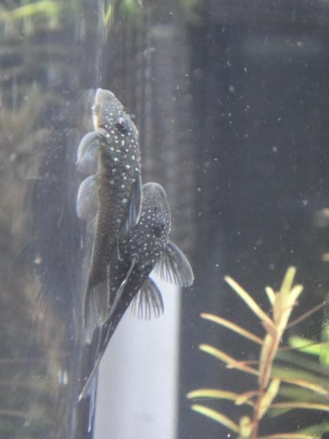 熱帯魚・水草・侘び草・金魚_f0189122_1323357.jpg