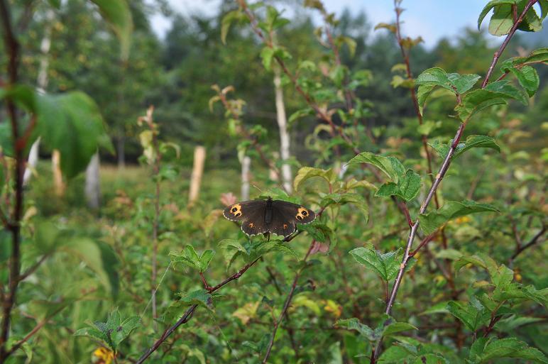 2010年想い出の蝶ランキング9位ベニヒカゲ_e0194952_21203318.jpg