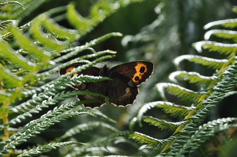 2010年想い出の蝶ランキング9位ベニヒカゲ_e0194952_825485.jpg