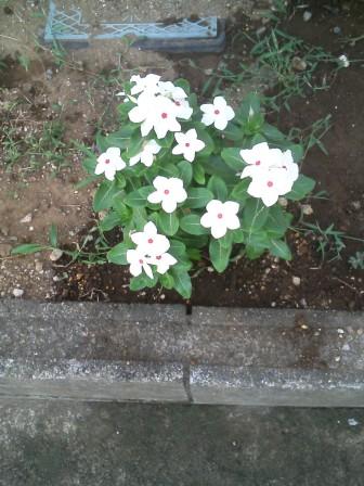 ニチニチ草_f0214534_941910.jpg