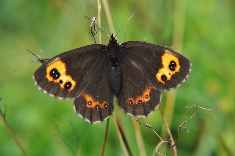 2010年想い出の蝶ランキング9位ベニヒカゲ_e0194952_2129551.jpg