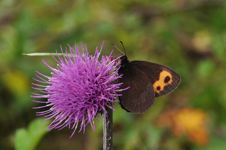 2010年想い出の蝶ランキング9位ベニヒカゲ_e0194952_821821.jpg