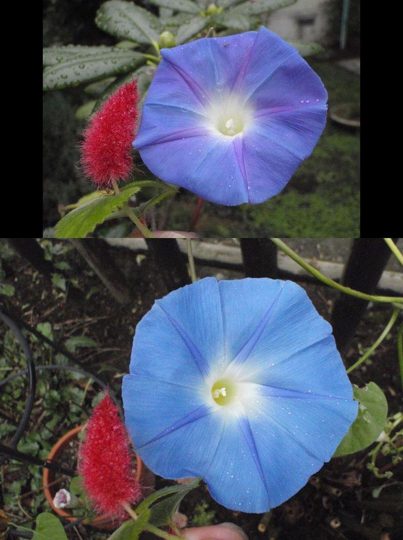ど根性アサガオ最後の狂い咲きと秋の空_c0025115_184096.jpg