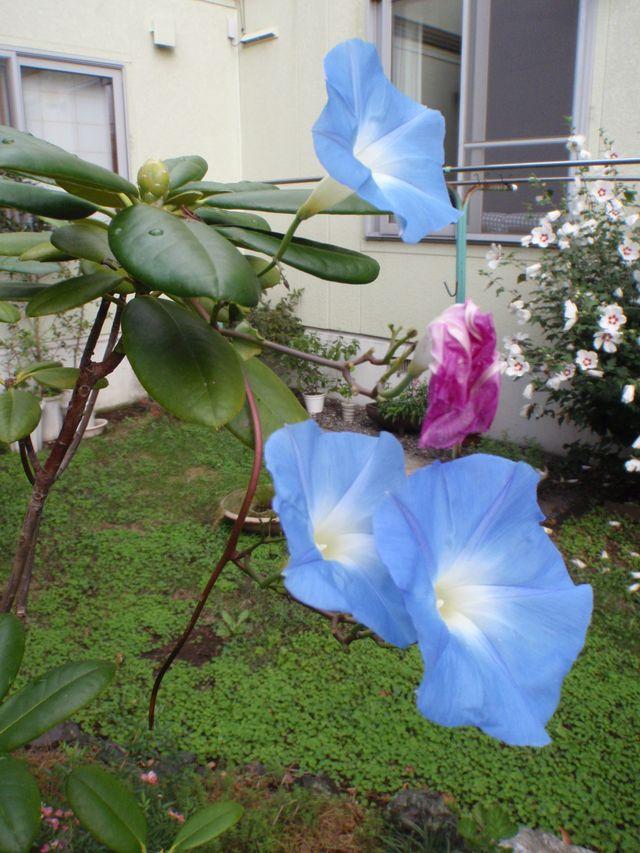 ど根性アサガオ最後の狂い咲きと秋の空_c0025115_1841089.jpg