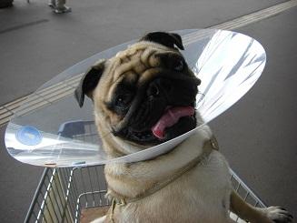 犬生初のエリザベス_a0159640_1347163.jpg