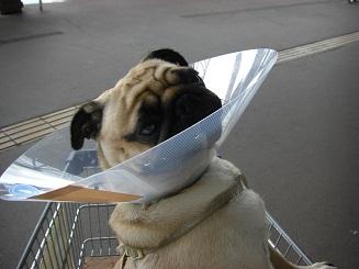 犬生初のエリザベス_a0159640_13475869.jpg