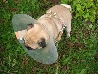 犬生初のエリザベス_a0159640_13521565.jpg