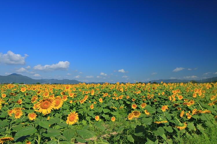 亀岡のひまわり園_e0051888_0355567.jpg