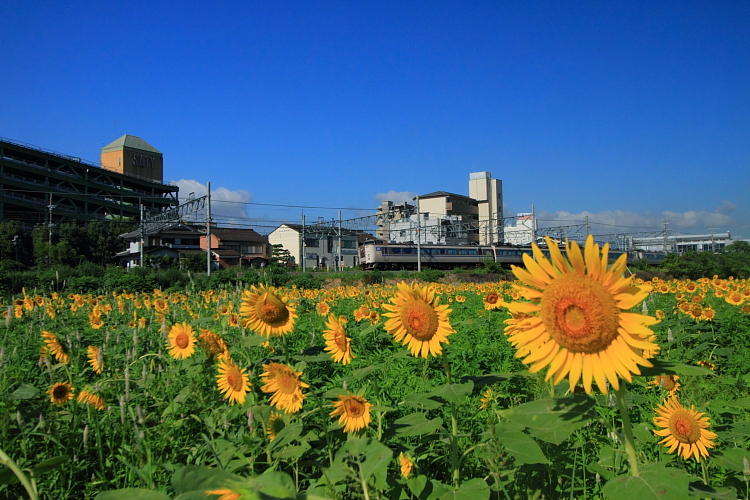 亀岡のひまわり園_e0051888_0375682.jpg
