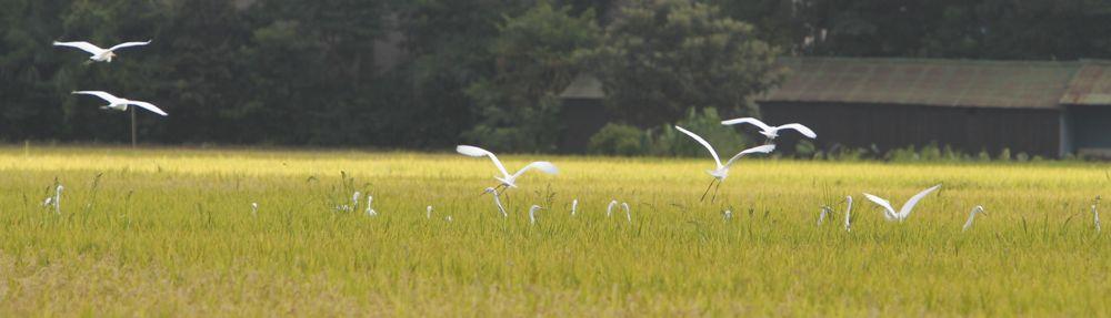 稲田に白鷺の群れ_d0148902_1935427.jpg