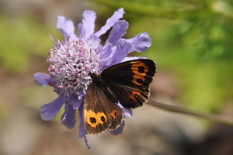 2010年想い出の蝶ランキング9位ベニヒカゲ_e0194952_2122332.jpg