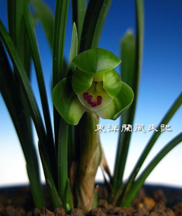 中国春蘭「翆蓋蝶」                   No.360_b0034163_2314176.jpg