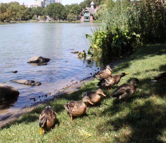 野生の王国化しつつあるセントラルパーク北限の湖 Harlem Meer _b0007805_12175472.jpg