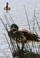 野生の王国化しつつあるセントラルパーク北限の湖 Harlem Meer _b0007805_1218787.jpg