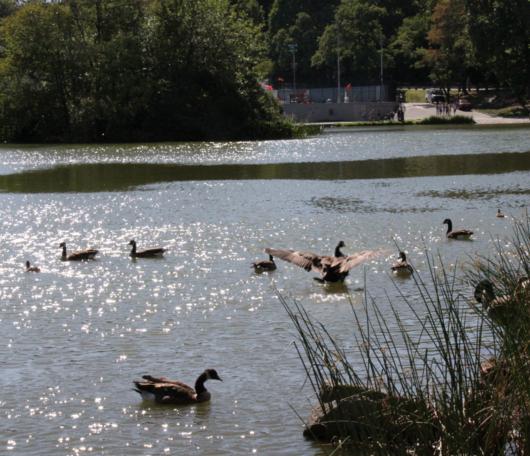 野生の王国化しつつあるセントラルパーク北限の湖 Harlem Meer _b0007805_12314740.jpg